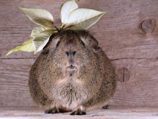 guinea pig, leaves, animal wallpaper