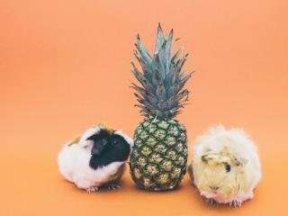guinea pigs, pineapple, rodent wallpaper