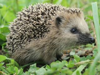 hedgehog, grass, muzzle wallpaper