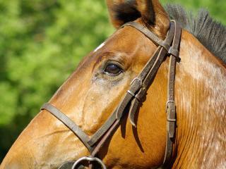 horse, profile, mane wallpaper