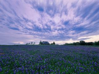 House In Purple Flower Hyacinth Field wallpaper