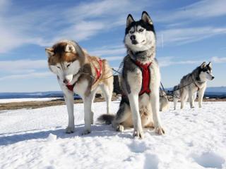 husky, couple, dogs wallpaper