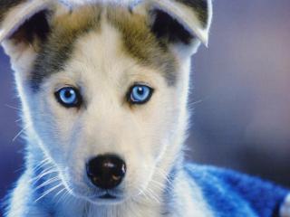 husky, puppy, blue-eyed wallpaper