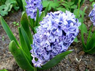 hyacinth, flower, flowerbed wallpaper