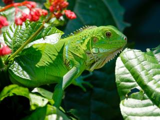 iguana, reptile, lizard wallpaper