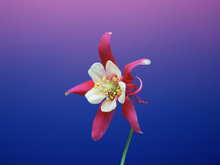 iOS 11 Flower Aquilegia wallpaper