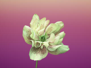 HD Wallpaper | Background Image iOS 11 Flower Helleborus