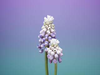 HD Wallpaper | Background Image iOS 11 Flower Muscari