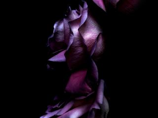 iOS 11 Purple Rose wallpaper
