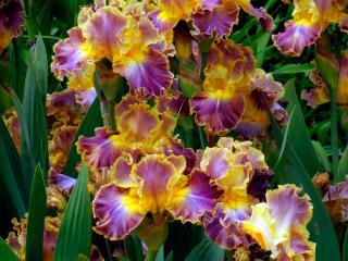 irises, flowers, herbs wallpaper