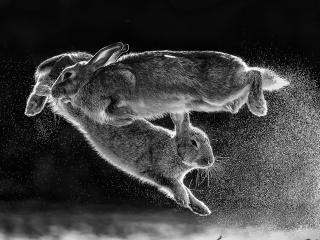 Jumping Rabbits wallpaper