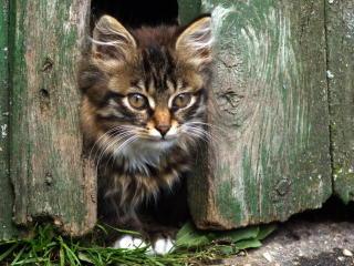kitten, face, fluffy wallpaper