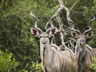 kudu, antelope, horns wallpaper