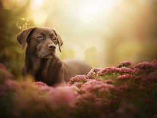 Labrador Retriever Dog wallpaper