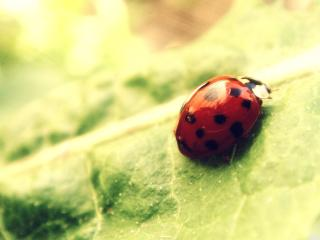 ladybug, leaf, surface wallpaper