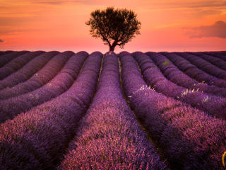 Lavender Field wallpaper