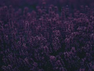 HD Wallpaper | Background Image Lavender
