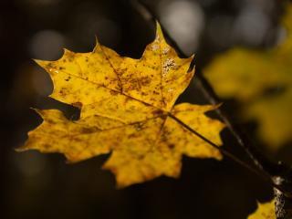 leaf, maple, autumn wallpaper