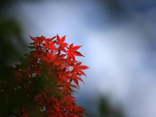 leaf, red, autumn wallpaper