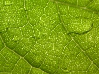 leaf, veins, surface wallpaper