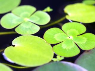 leaves, water, swim wallpaper