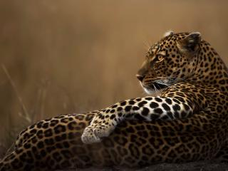 Leopard Candid wallpaper