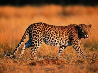 leopard, walking, grass wallpaper