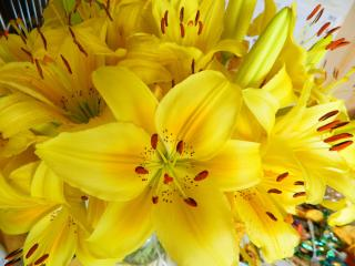 lilies, flowers, flower wallpaper