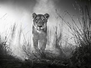 Lion Black And White wallpaper