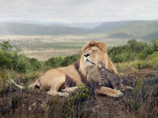 lion, cat, friendship wallpaper
