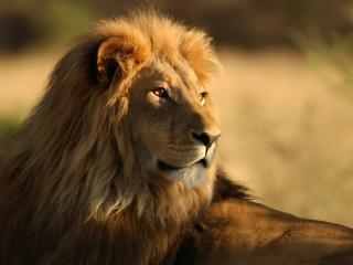lion, face, mane wallpaper