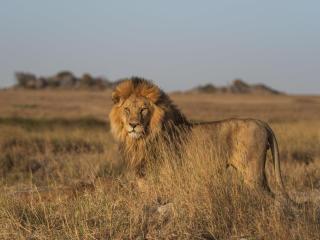 Lion HD Photography wallpaper