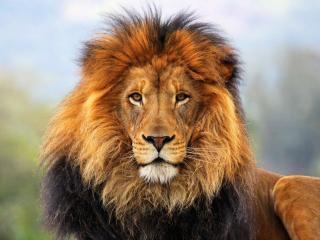 lion, mane, eyes wallpaper