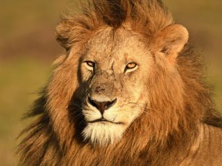 Lion Masai Mara Kenya wallpaper