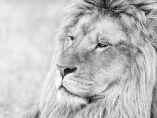 lion, muzzle, mane wallpaper