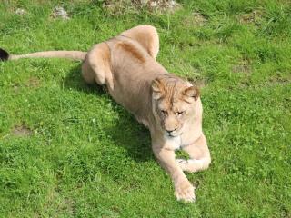 lioness, predator, big cat wallpaper