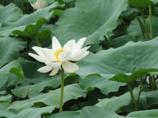 lotus, white, leaves wallpaper