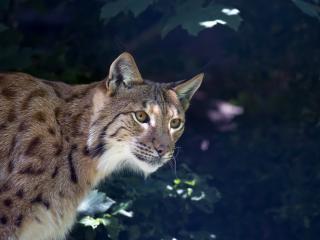 lynx, predator, muzzle wallpaper