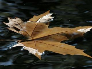 maple, leaf, water wallpaper