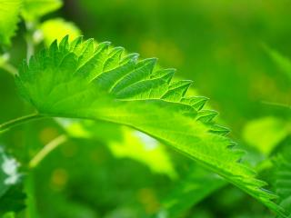 nettle, leaf, close-up wallpaper