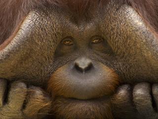 orangutan, monkey, face wallpaper