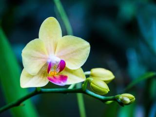 orchid, flower, bud wallpaper