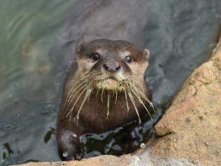 otter, muzzle, cute wallpaper