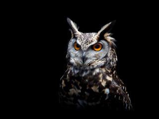 Owl Dark Background wallpaper