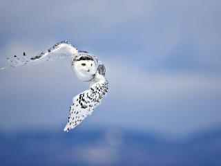 owl, flying, bird wallpaper