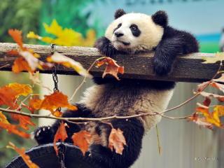 panda, bear, branch wallpaper