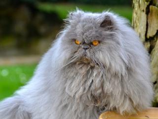 persian cat, cat, furry wallpaper