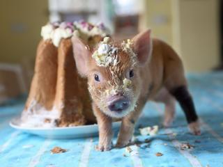 pig, cake, soiled wallpaper