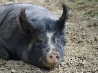 pig, muzzle, mud wallpaper