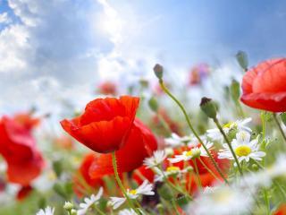 poppies, daisies, field wallpaper